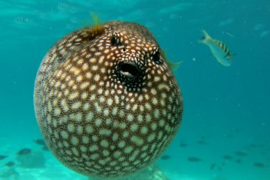 Alert: Deadly pufferfish wash up on Southern Coast beaches
